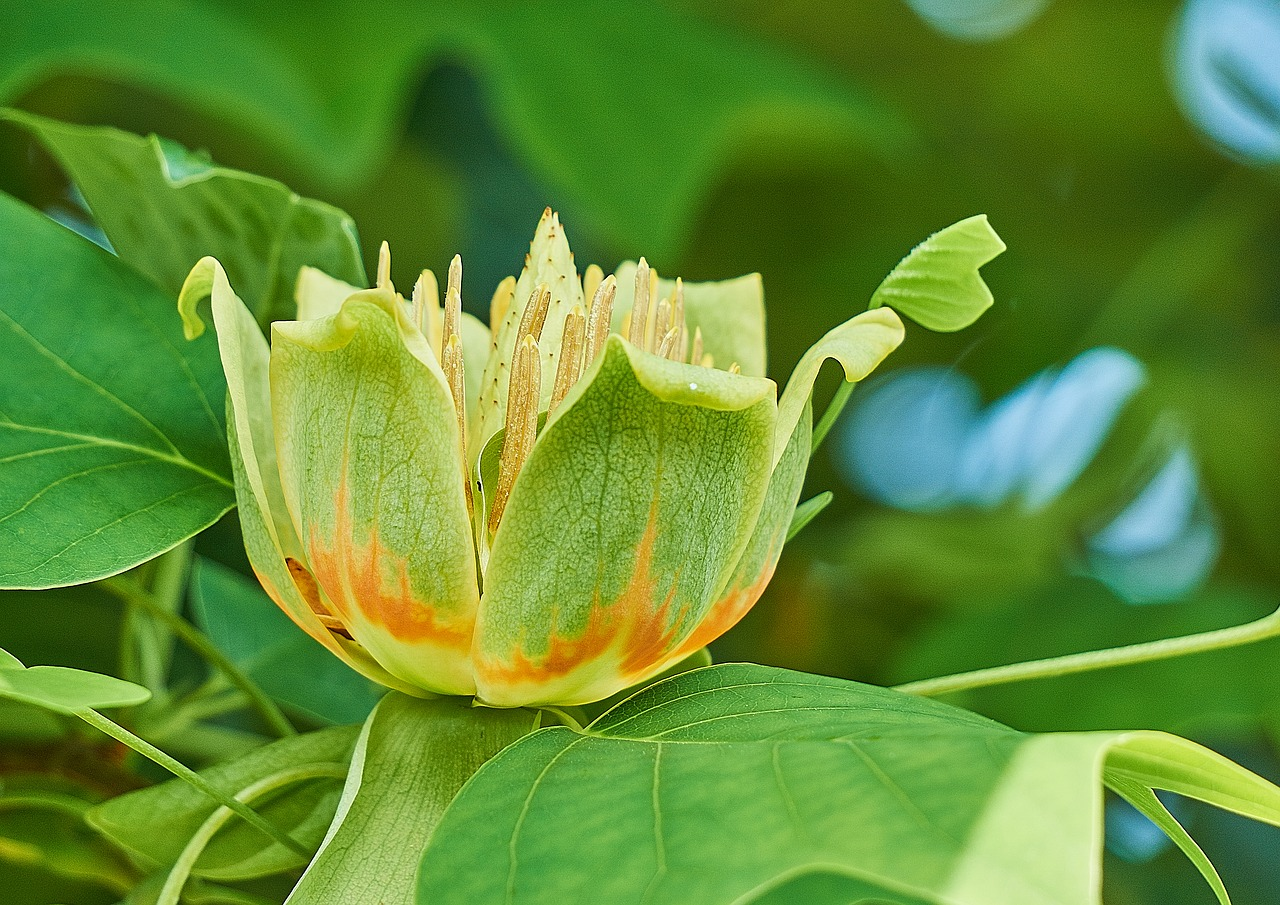 liriodendron tulipifera,tulip tree,flower,magnoliaceae,tree,nature,garden,bloom,flowers,trees,plant,chalice,sepal,flower calyx,crown,petal,petals,corolla,stamens,pollen,pestle,free pictures, free photos, free images, royalty free, free illustrations