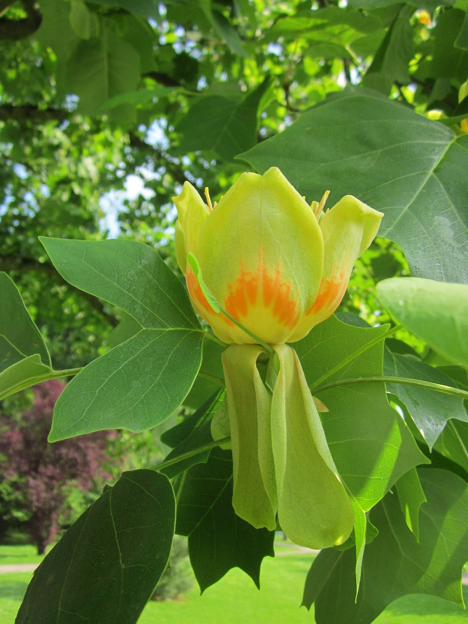 liriodendron tulipifera,tulip tree,american tulip tree,tuliptree,tulip poplar,whitewood,fiddle-tree,yellow poplar,tree,flora,botany,plant,species,free pictures, free photos, free images, royalty free, free illustrations