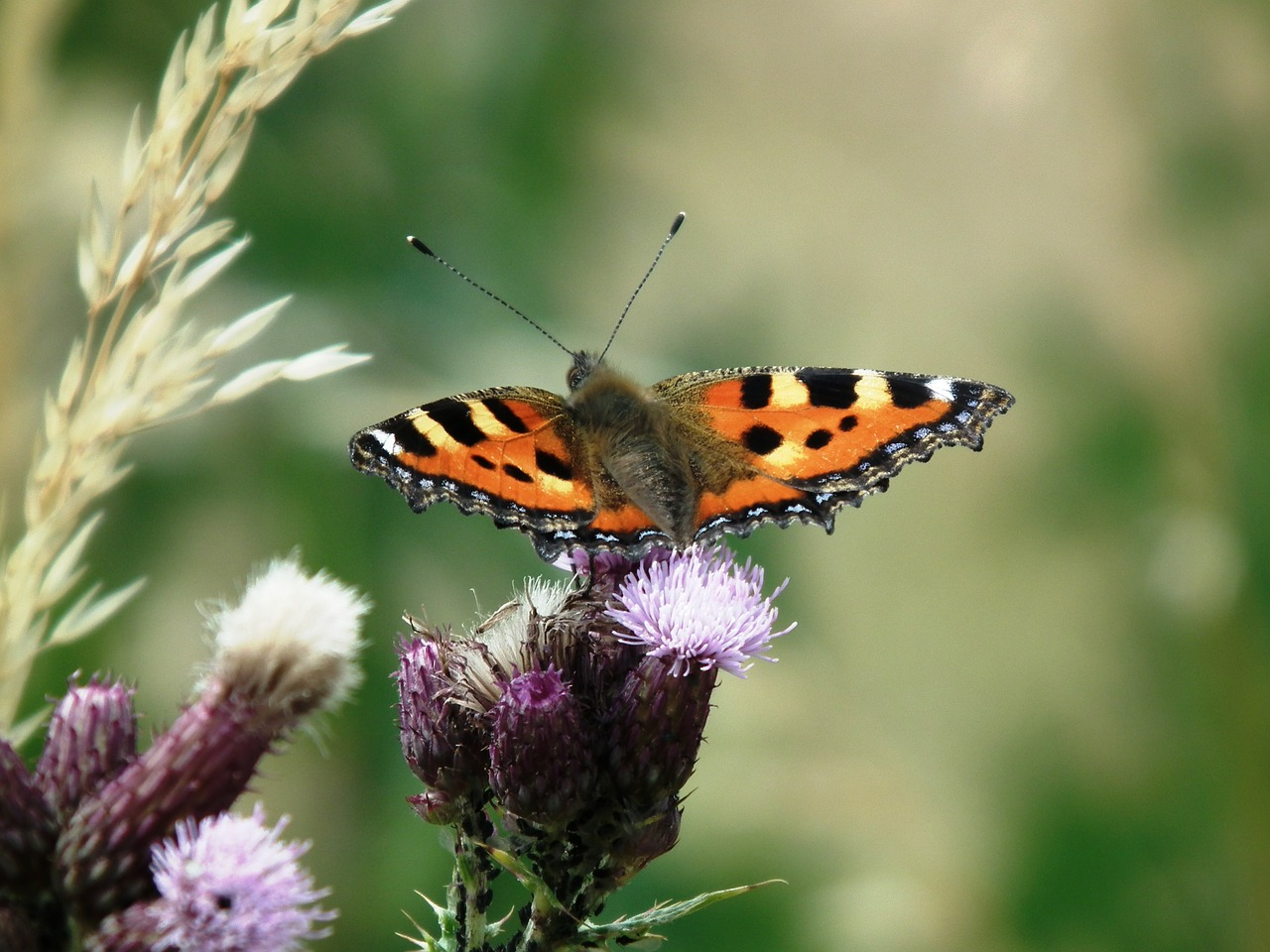 little fox butterfly insect free picture