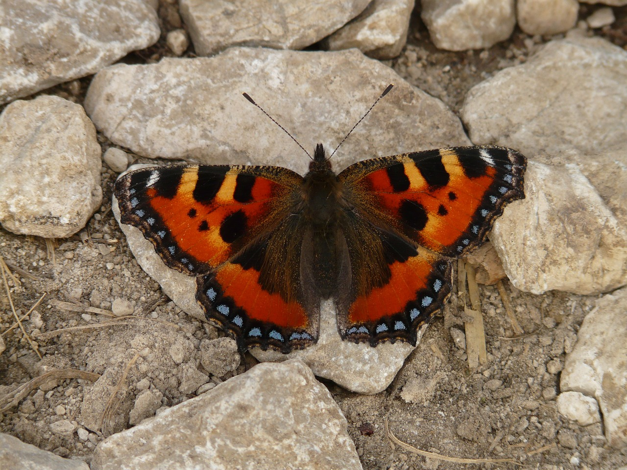 little fox butterfly colorful free photo