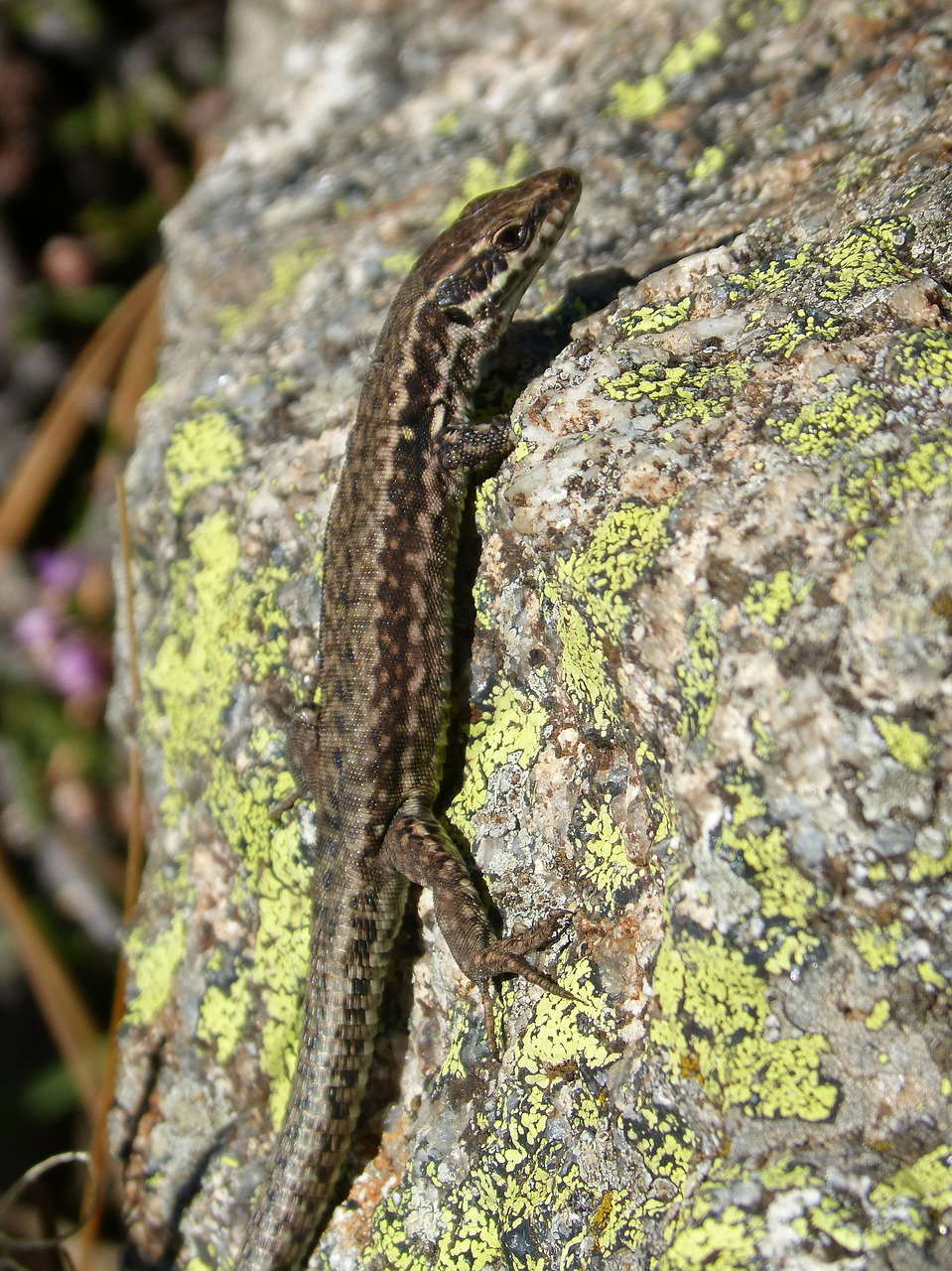 lizard podarcis hispanica lizard iberian free photo