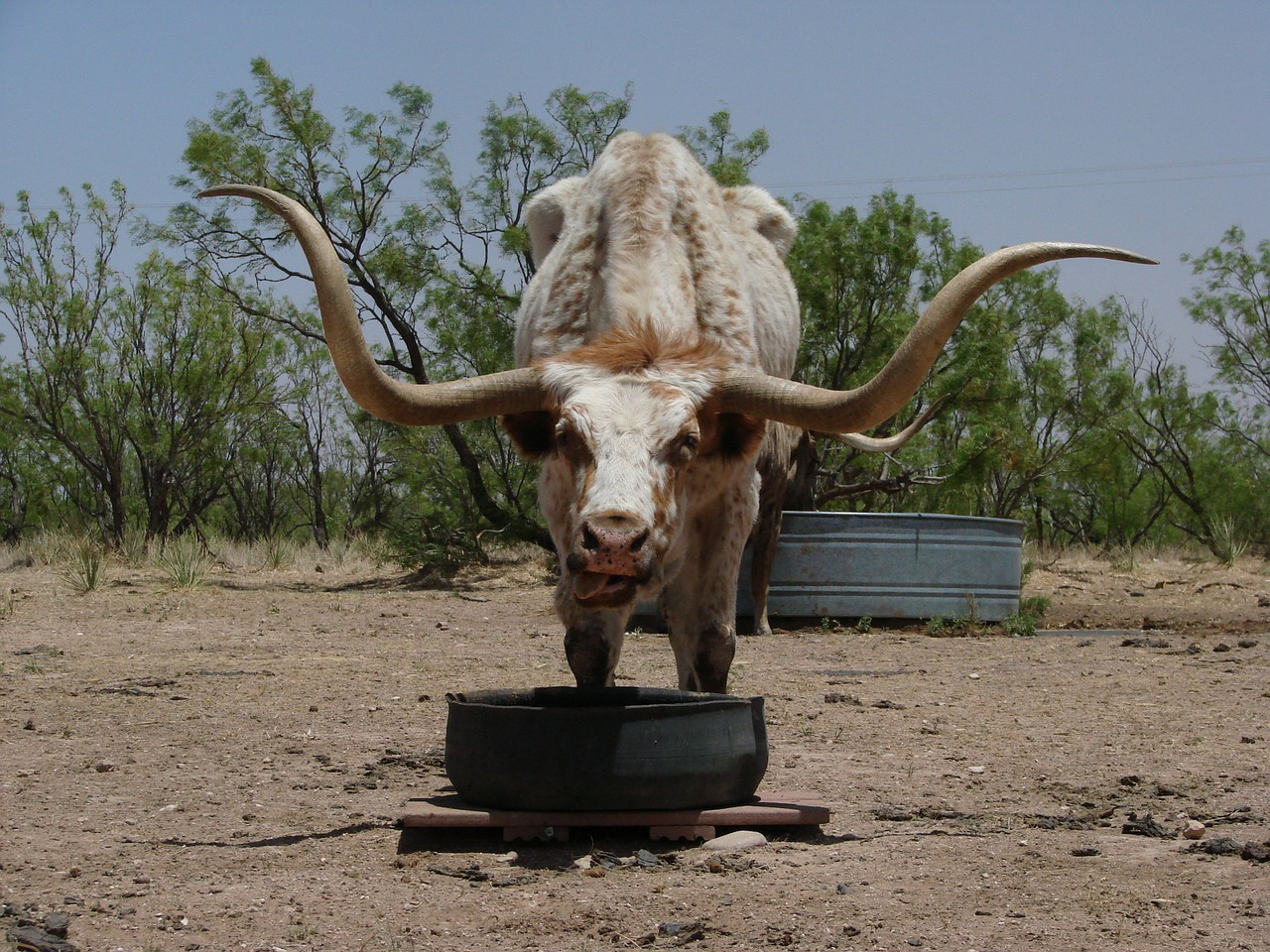 longhorn texas beef free photo