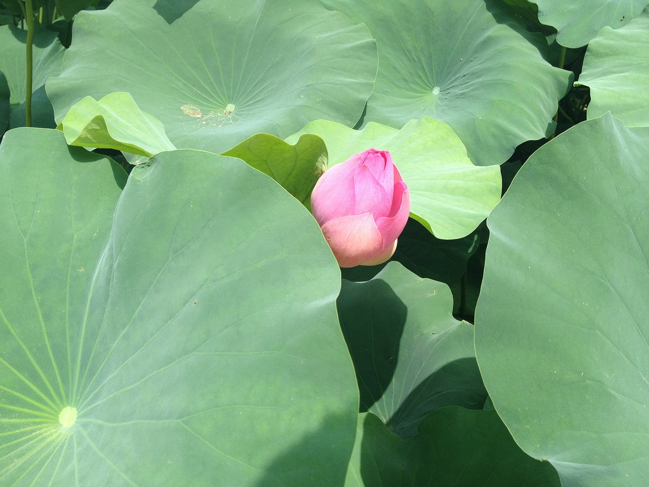 lotus pond pond plants free photo