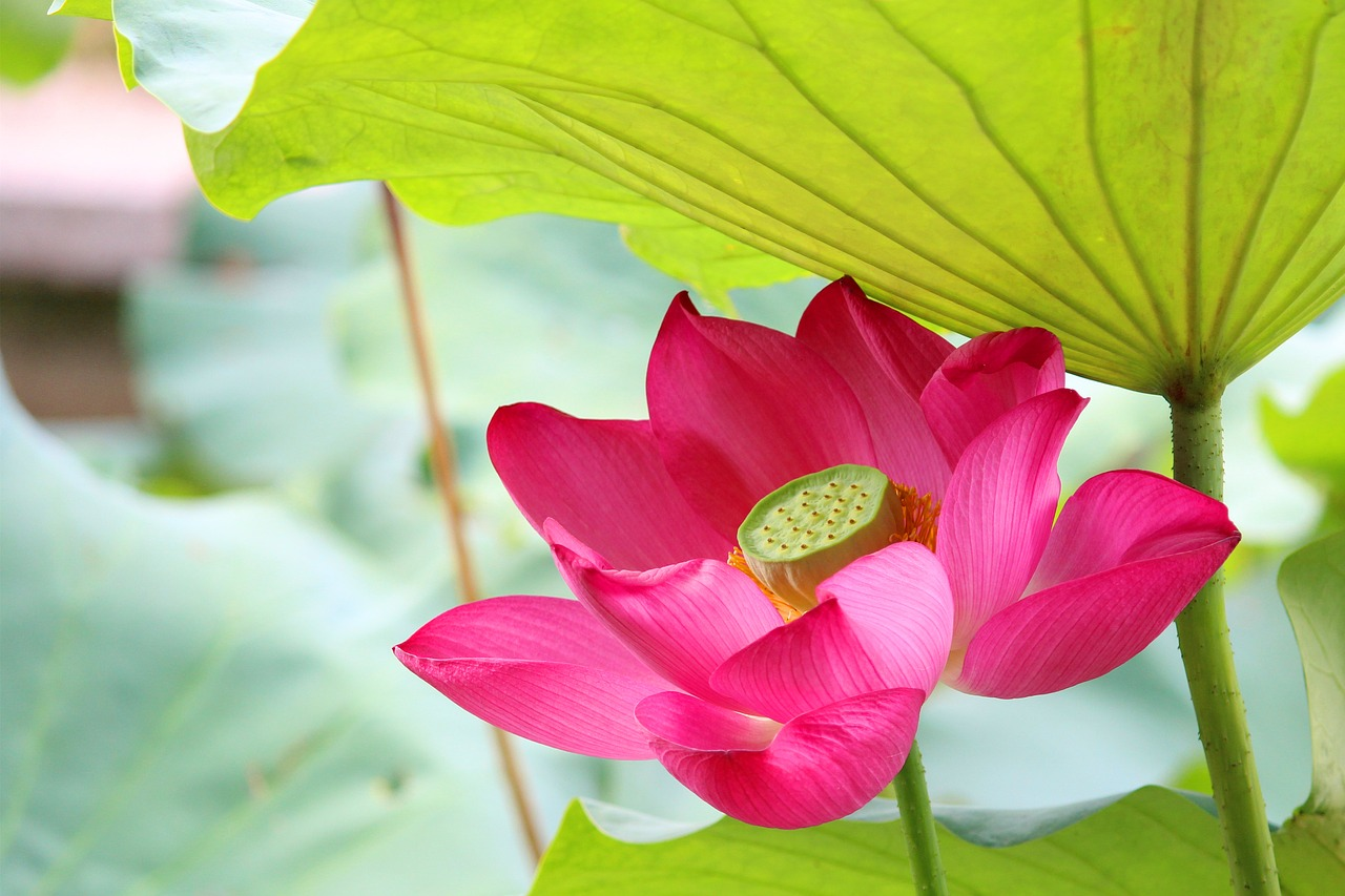 lotus rain hongluosi free photo