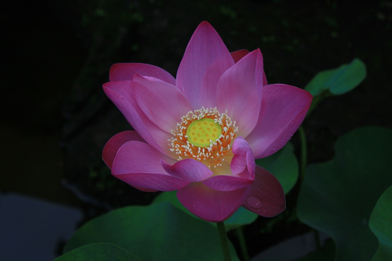 Lotusflowerindia Free Photo From Needpix