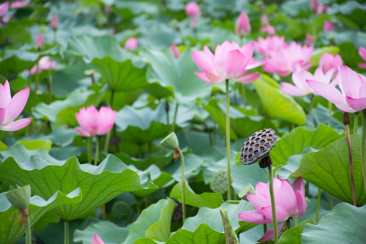 Lotuslotus Leaflotus Rootpondthe Scenery Free Photo From