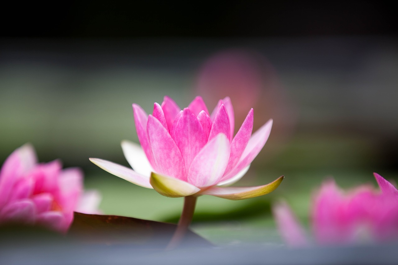 lotus flower pink free picture