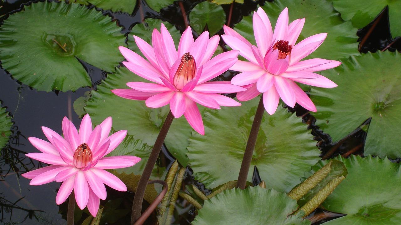 Lotusindiaflowerbloom Free Photo From Needpix