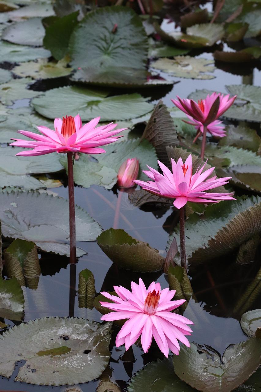 Lotusflowersplantsleafindonesian free photo from needpix lotus flowers plants mightylinksfo