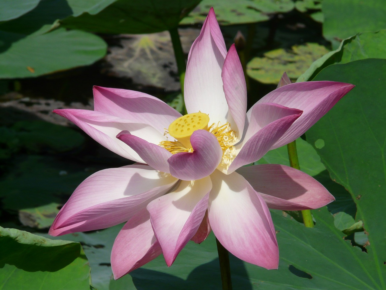 lotus lotus blossom blossom free photo