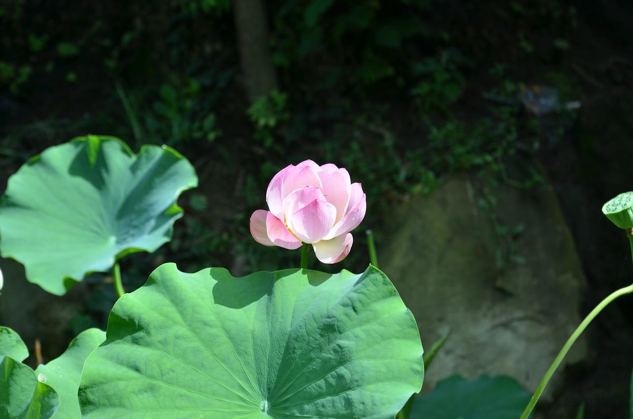 Lotusflowerlotus Leaf Free Photo From Needpix