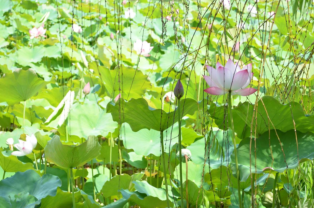 Lotusflowerlotus leafpondplant free photo from needpix lotusflowerlotus leafpondplantnatureroyalty free izmirmasajfo