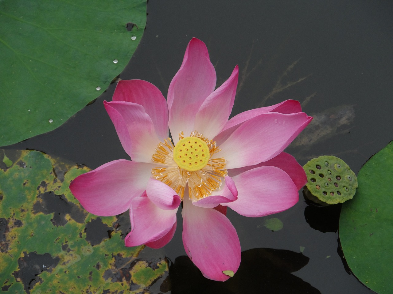 Lotus Blossomfloweraquatic Plantwater Lilythailand Free Photo