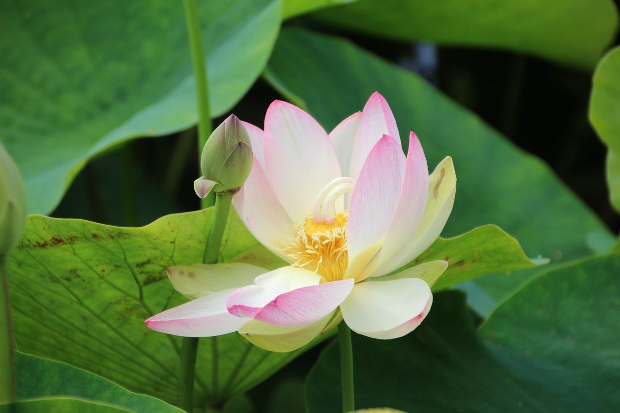 Lotus floweraugustaquatic planthardyfree pictures free photo lotus floweraugustaquatic planthardyfree pictures free photos izmirmasajfo