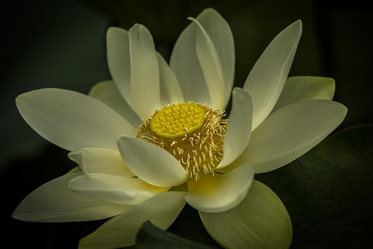 Lotus Floweraquaticflowerflorapink Free Photo From Needpix