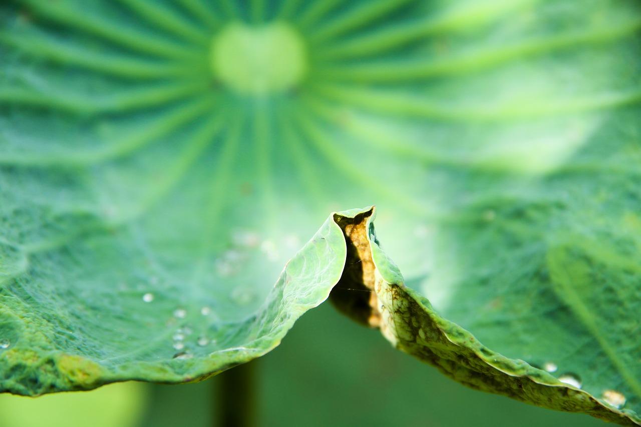 Lotus Flowernaturalgreenleaffree Photos Free Photo From