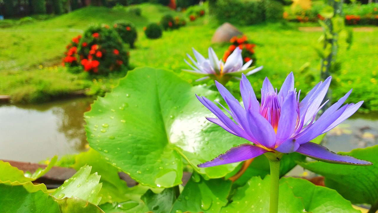 Lotus Flowerslotuslotus Purplepurple Flowersflower Free Photo