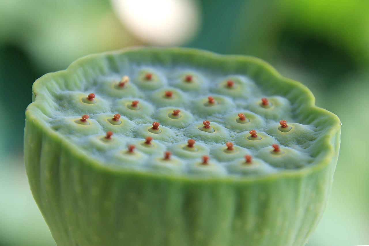 Lotus Fruitlotusfruitplantnatural Free Photo From Needpix