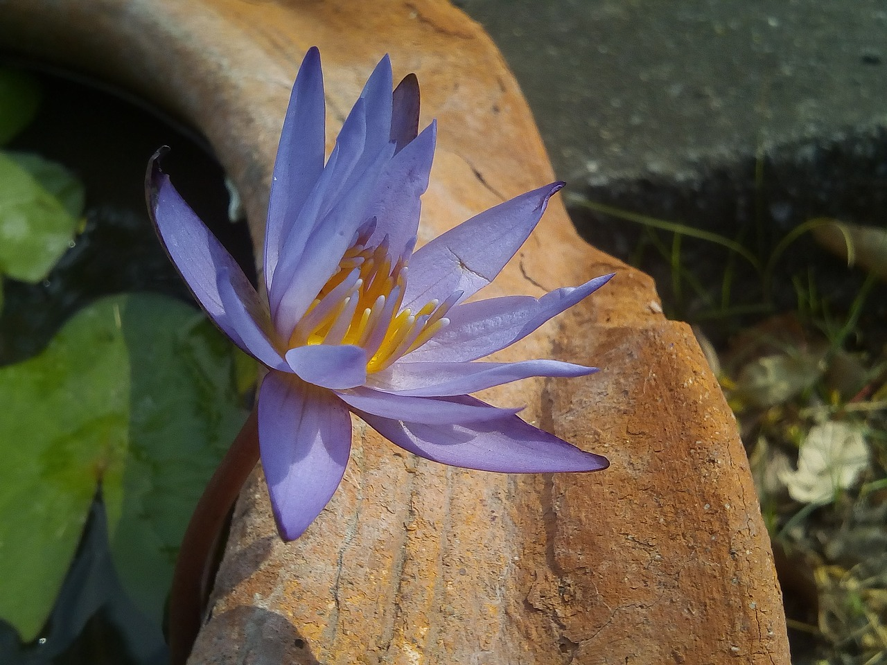 lotus leaf lotus water plants free photo
