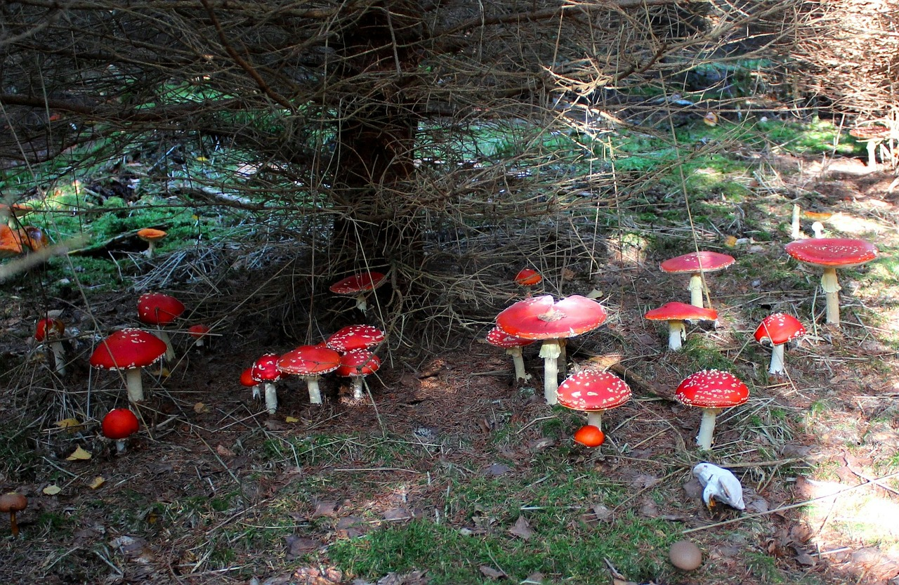 lucky guy luck fly agaric free photo