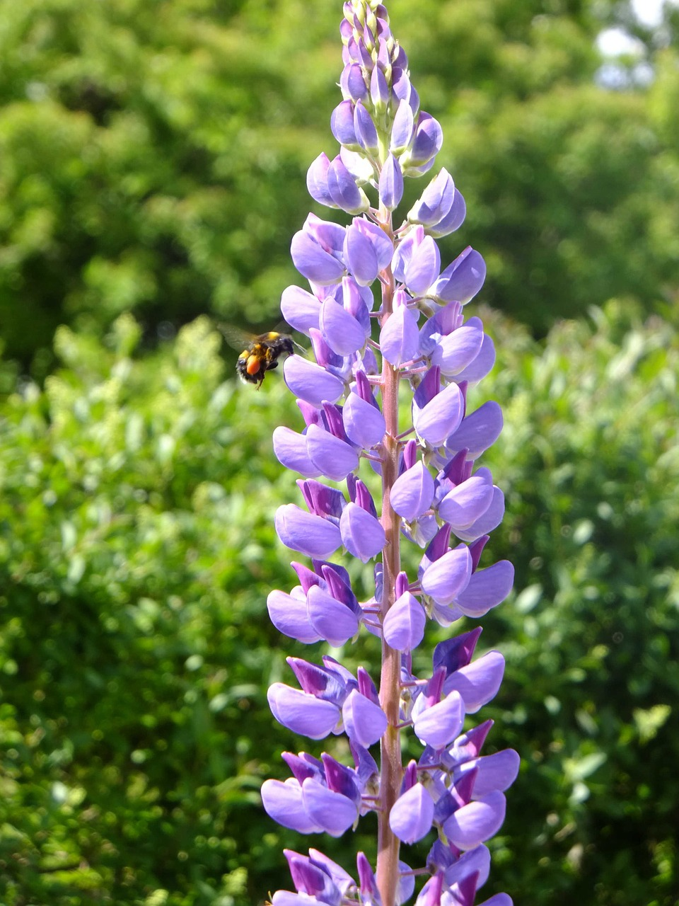 lupin natural purple free photo