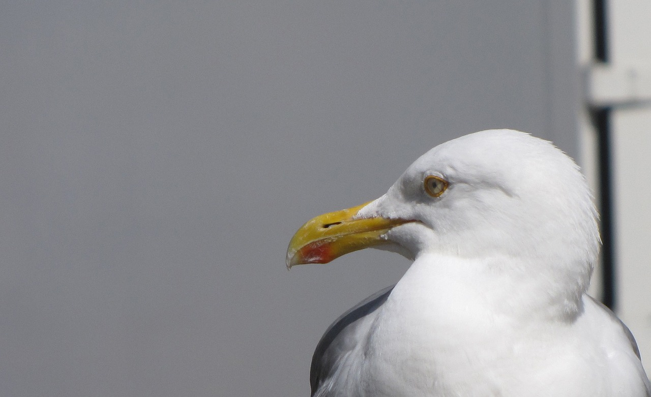 lurking food seagull free photo