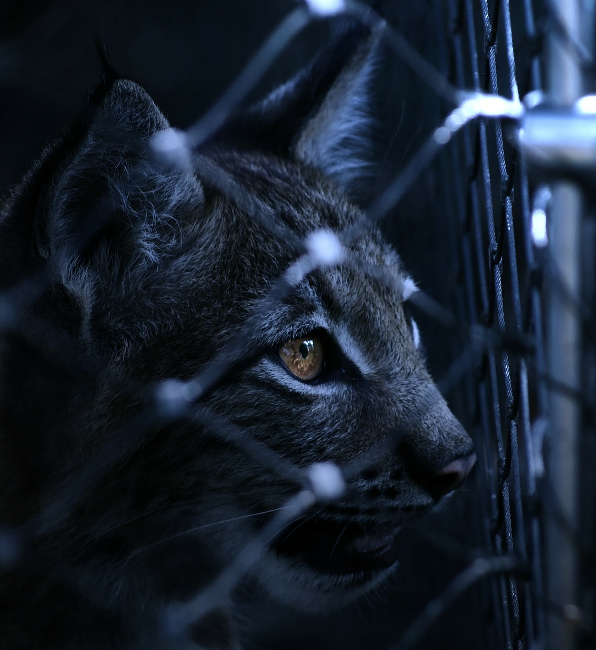 lynx caught imprisoned free photo