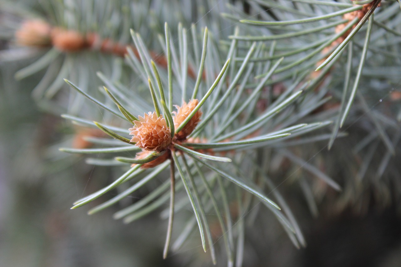 macro spruce autumn free photo