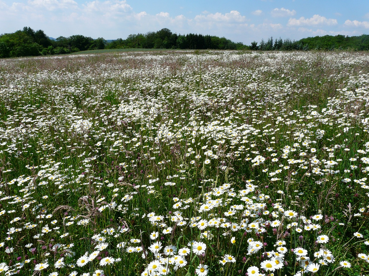 mager meadow meadow flower meadow free photo