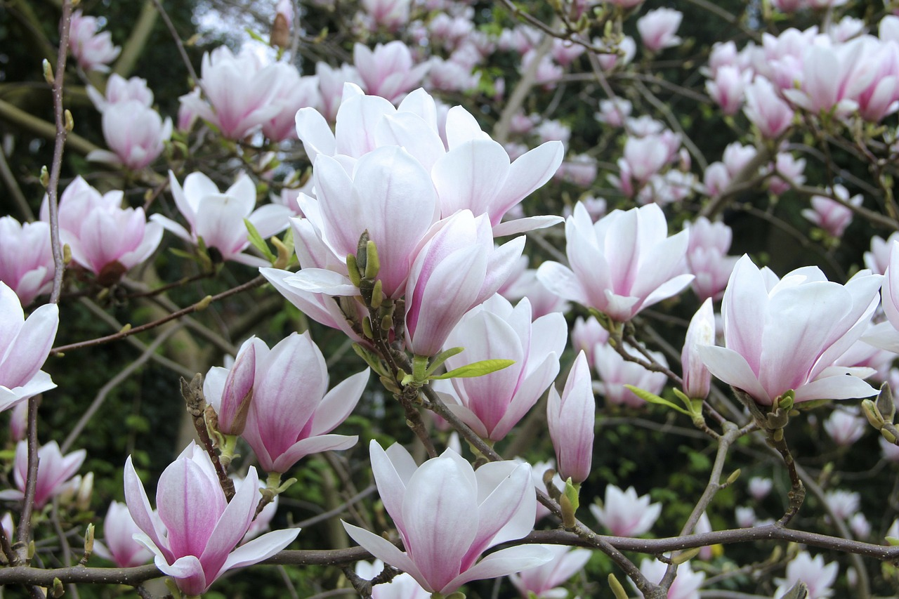 magnolia tulip magnolia flowers free photo