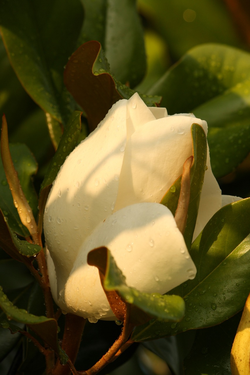 magnolia flower bloom free photo