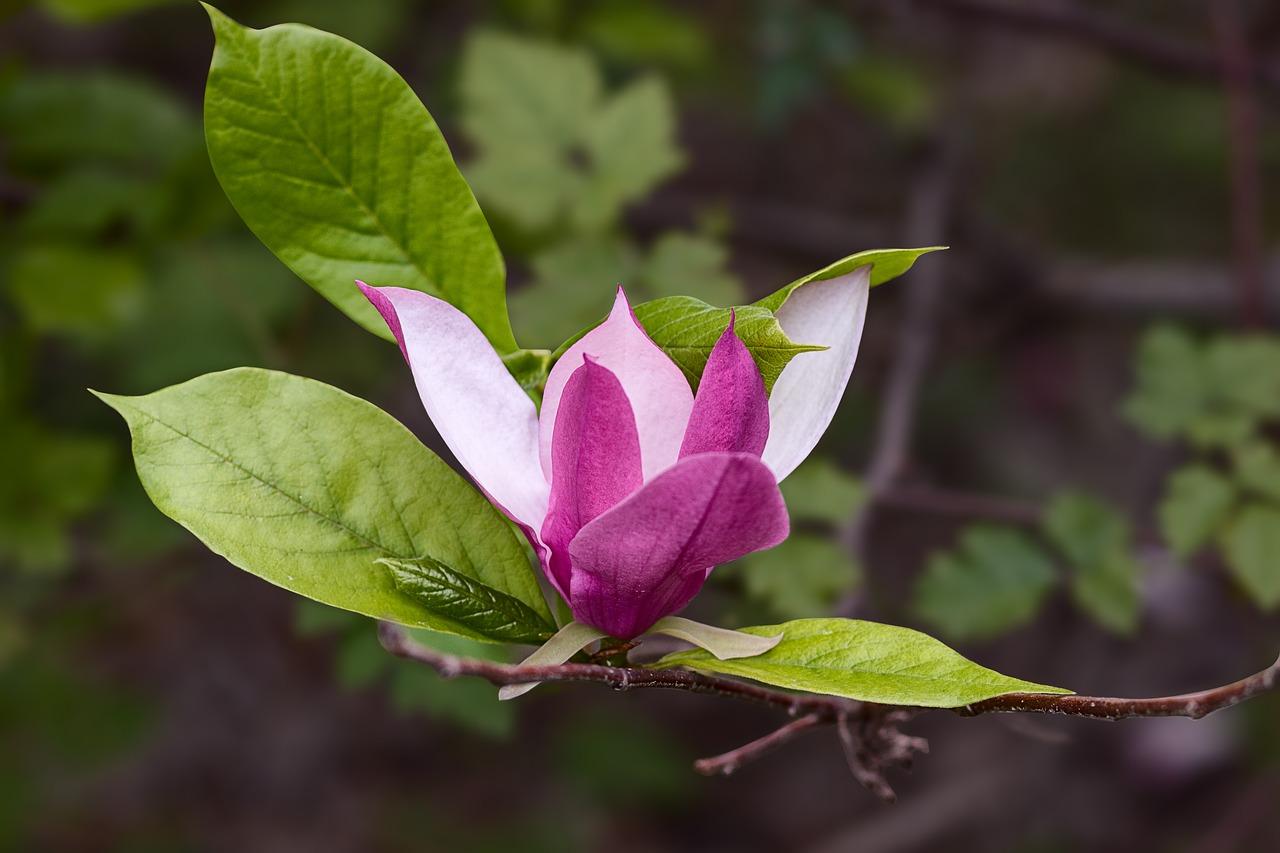 Magnoliaflowersnaturespringflower Free Photo From Needpix