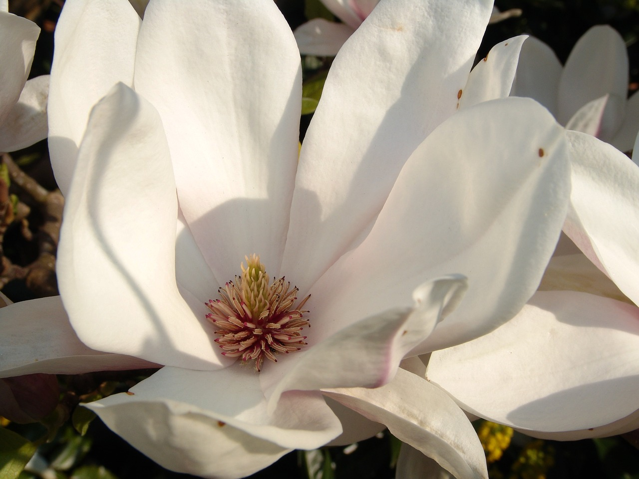 Magnoliaflowerspringflowersbloom Free Photo From Needpixcom