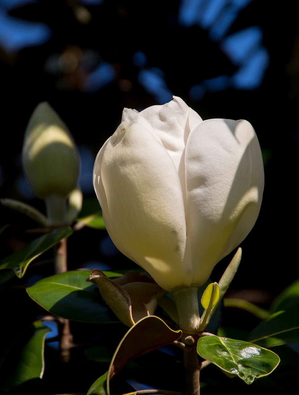 Magnoliaflowerbloomcreamwhite Free Photo From Needpixcom