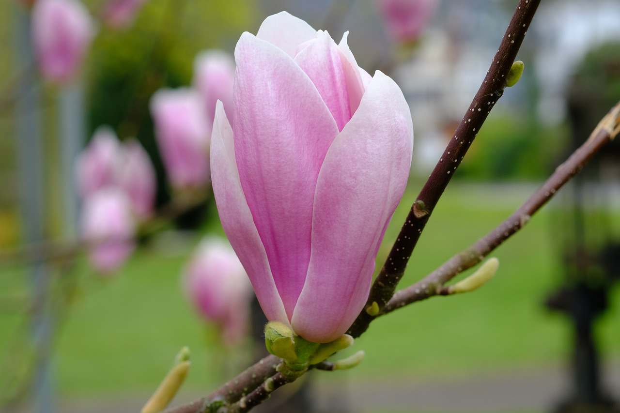 magnolia  blossom  bloom free photo