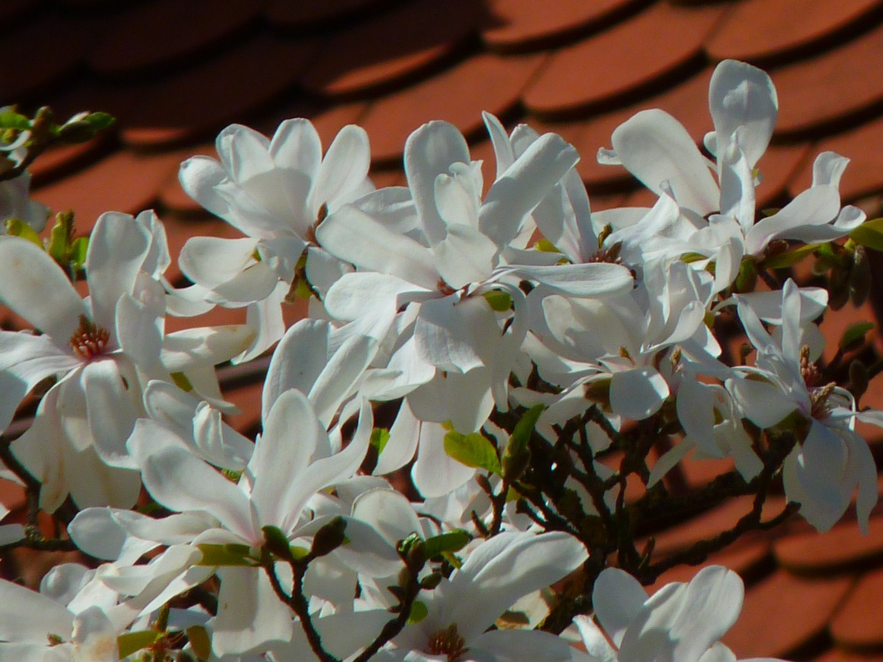 magnolia white blossom tree free photo