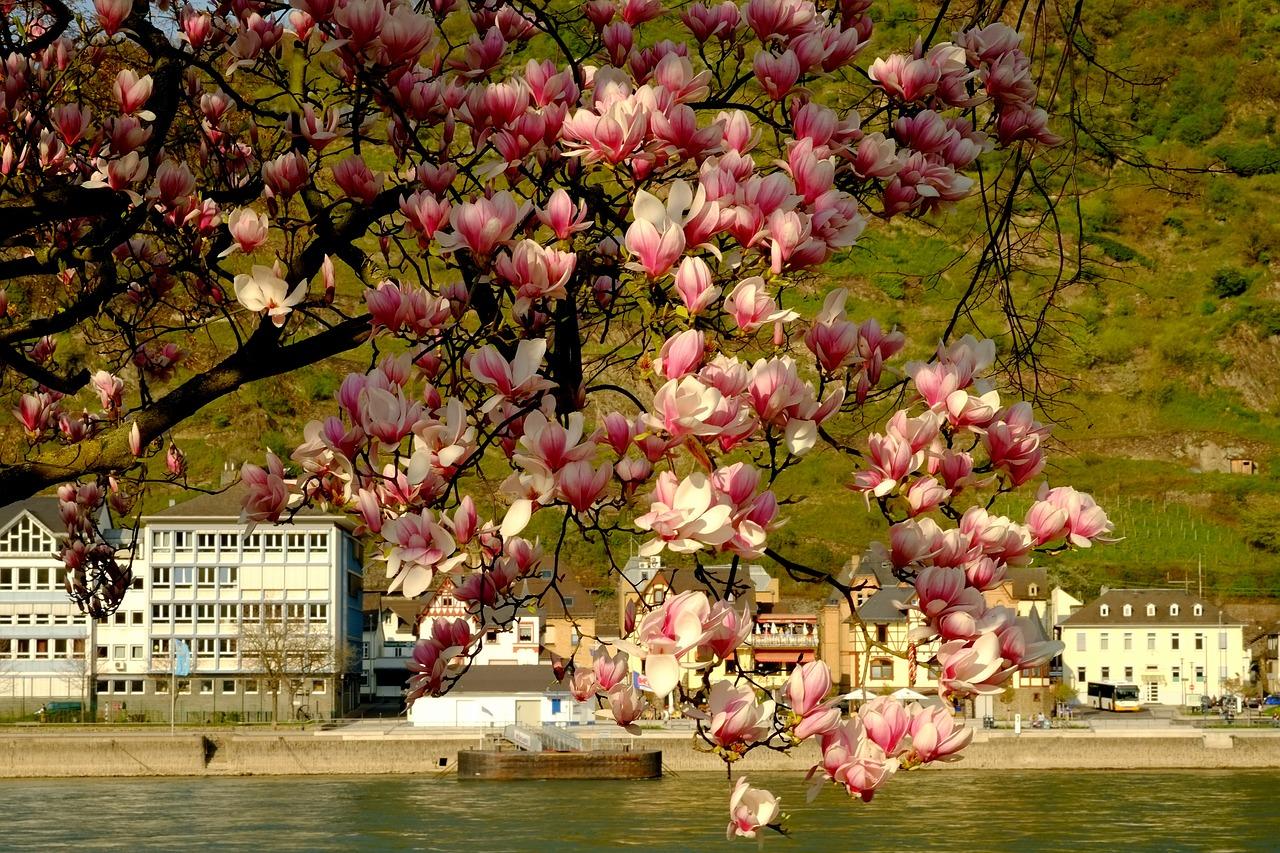 Magnolia Treemagnolia Blossomspringflowersnature Free Photo
