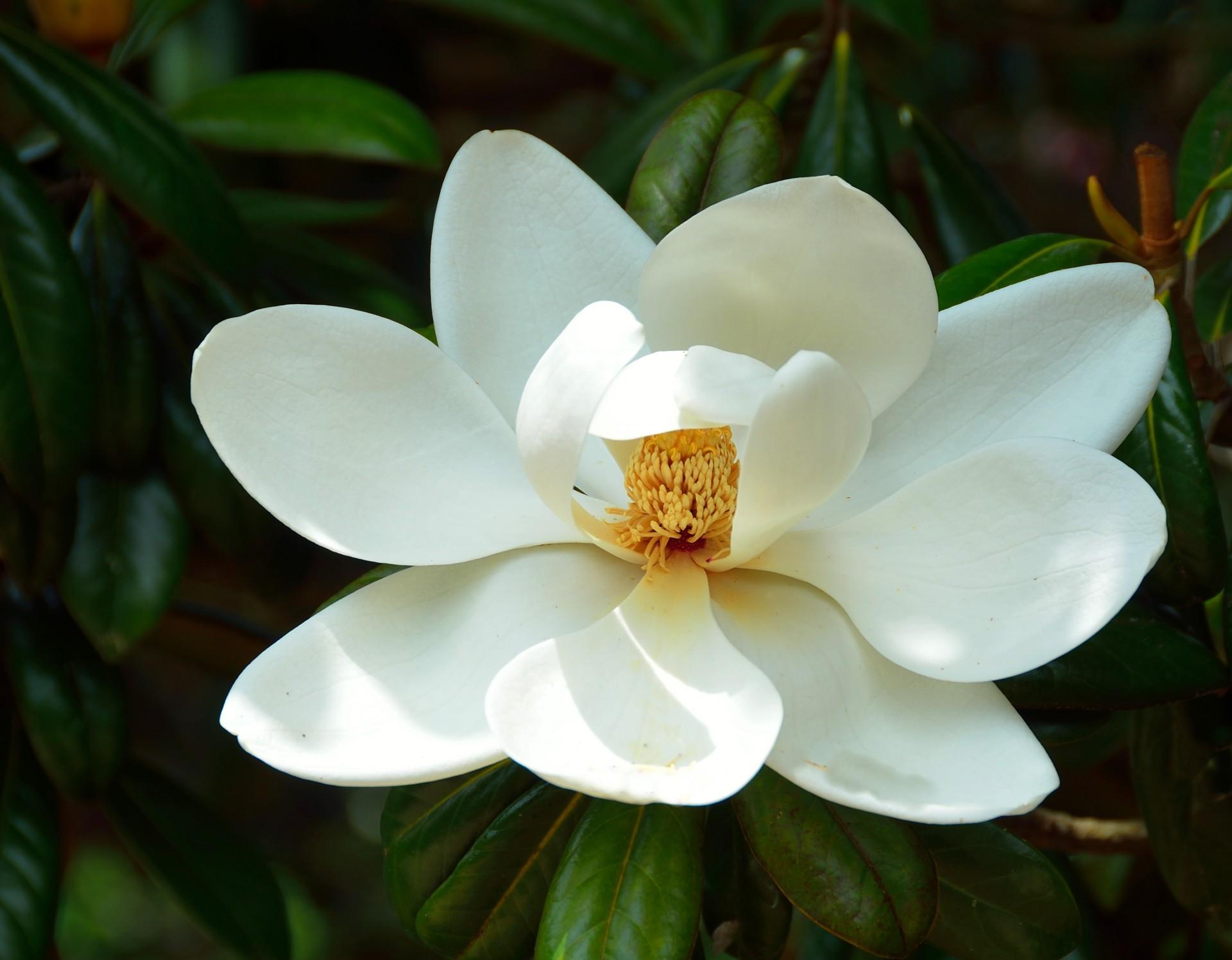 Magnoliaflowertreetropicalwhite Free Photo From Needpixcom