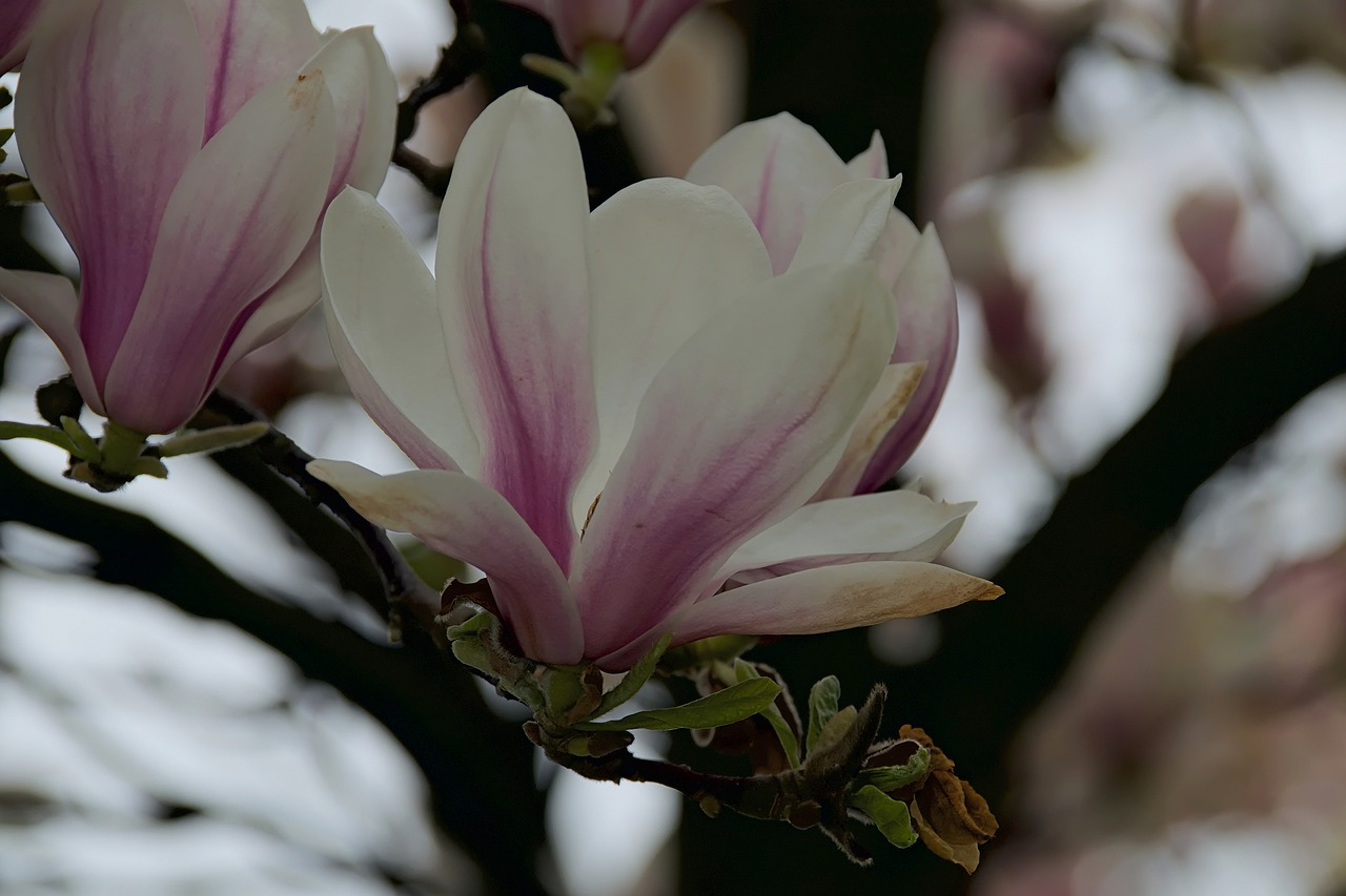 Magnoliasmagnolia Flowerflowerspringnature Free Photo From