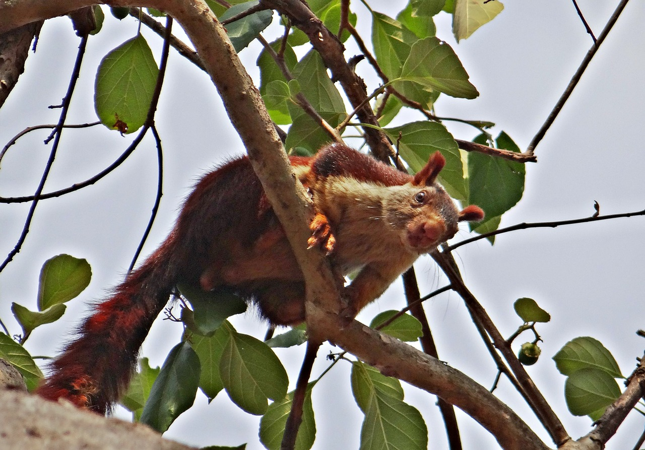malabar giant squirrel,ratufa indica,indian giant squirrel,wildlife,animal,squirrel,karnataka,india,free pictures, free photos, free images, royalty free, free illustrations, public domain