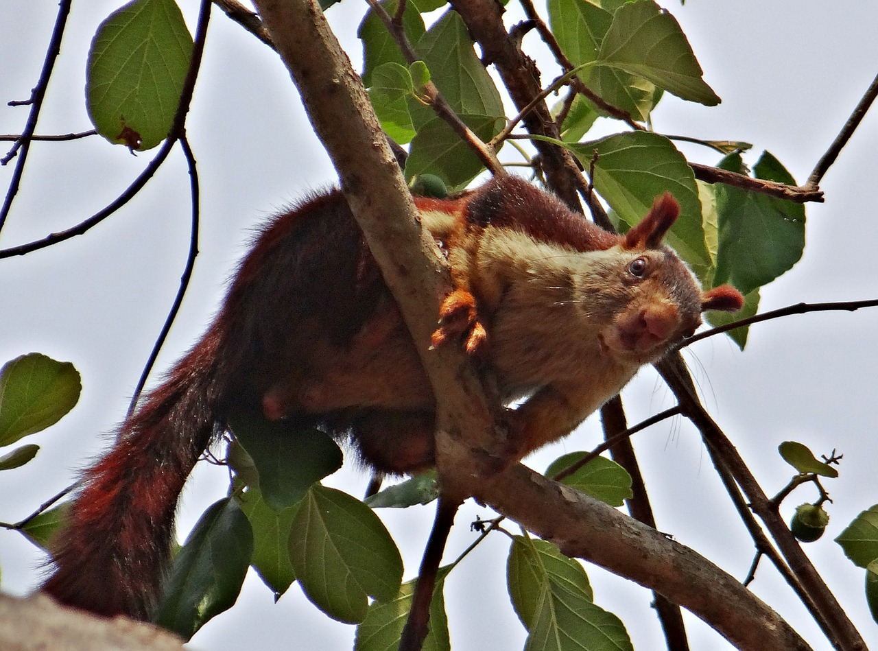malabar giant squirrel ratufa indica indian giant squirrel free photo