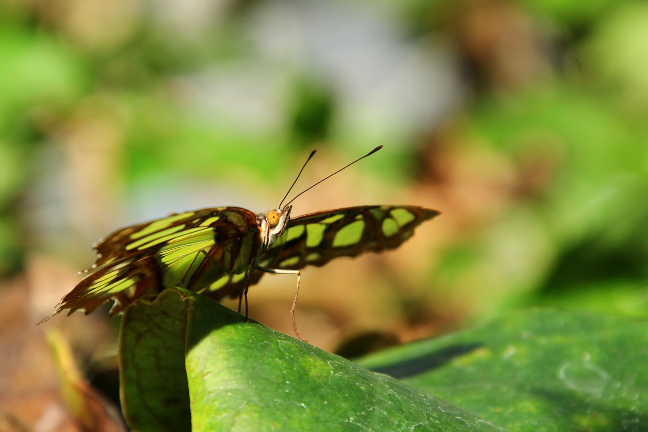 malachite butterfly  butterfly  insect free photo