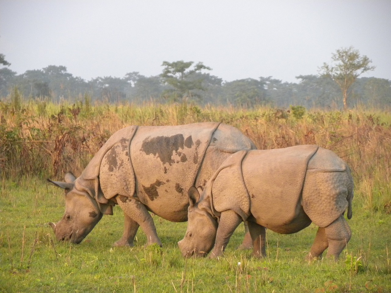 manas rhino manas national park assam free photo