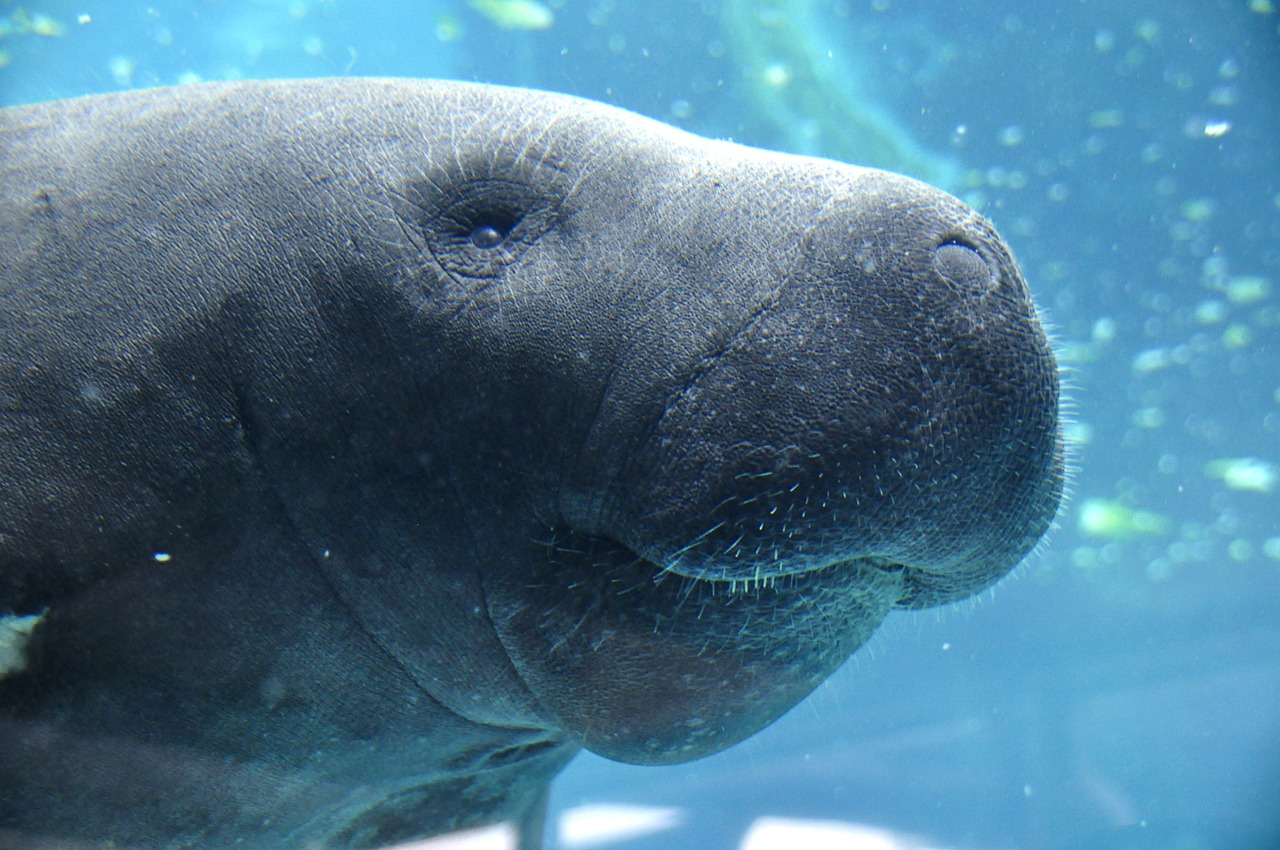 manatee animal water free photo