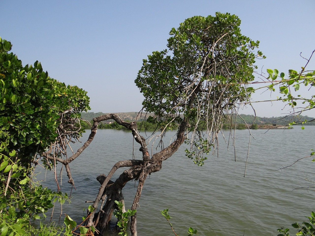 mangroves,vegetation,estuary,backwaters,tidal ingress,brackish water,aghanashini,river,nature,tropical,forest,natural,swamp,flora,gokarna,india,free pictures, free photos, free images, royalty free, free illustrations, public domain
