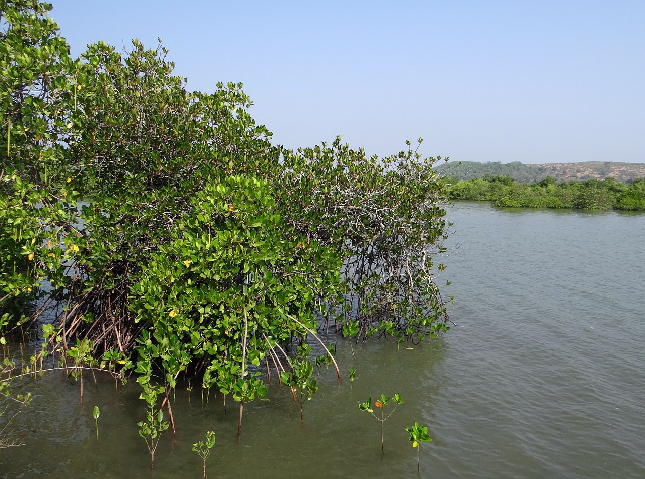 mangroves vegetation estuary free photo