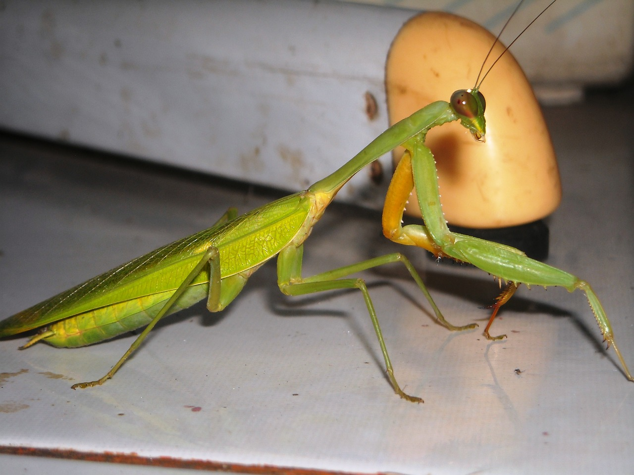mantis grasshopper green free photo