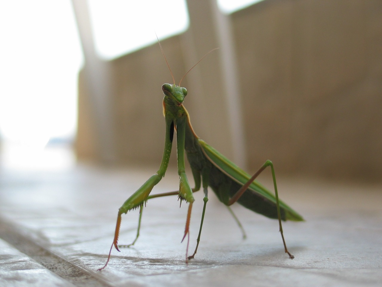 mantis insect green free photo