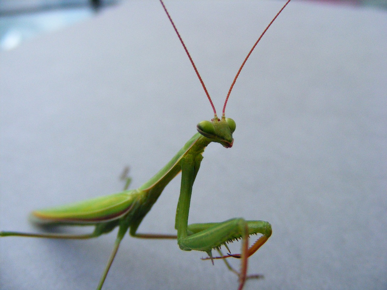mantis green insects free photo