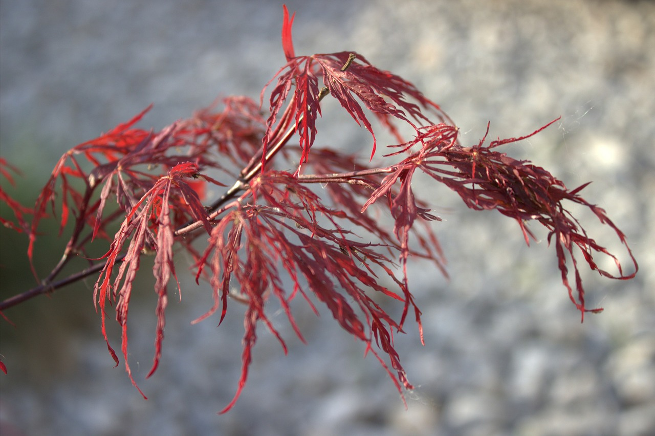 maple japanese red maple leaves free photo